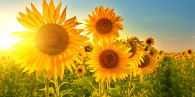 Welche Sommerblume bist du?