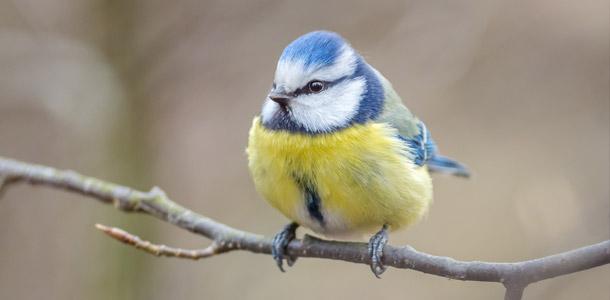 Wie heißt dieser hübsche Singvogel, der in der Stadt etwas weniger vorkommt?