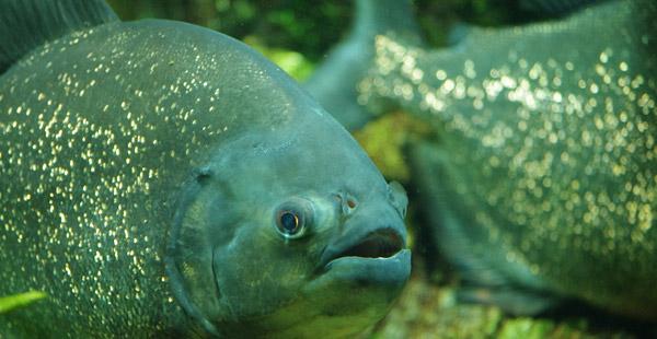 Dieser Fisch gehört zu den Gründlern.
