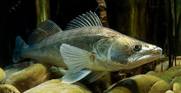 Dies ist einer der größten heimischen Süßwasserfische und kann theoretisch bis zu 1,30 m lang werden.