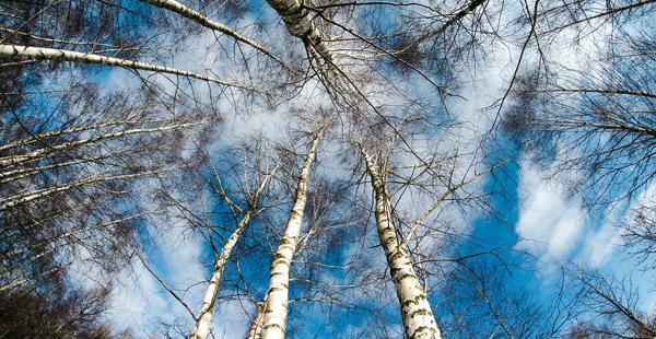 Welcher biegsame Baum mit weißer Rinde kann das nur sein?