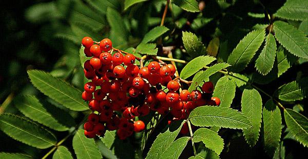 Auch diese Früchte sind prägnant und hängen meist noch, wenn der Winter schon eingekehrt ist.