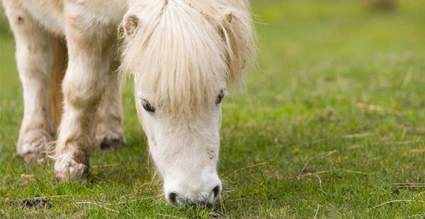 Um welche kleine Pferderasse handelt es sich hier?