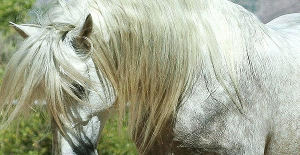 Diese stolze spanische Pferderasse heißt wie genau?