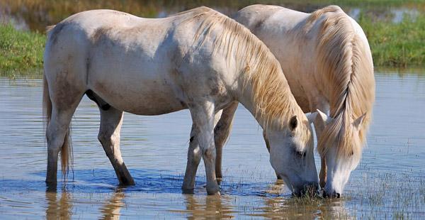 Die weißen Pferde der … ?