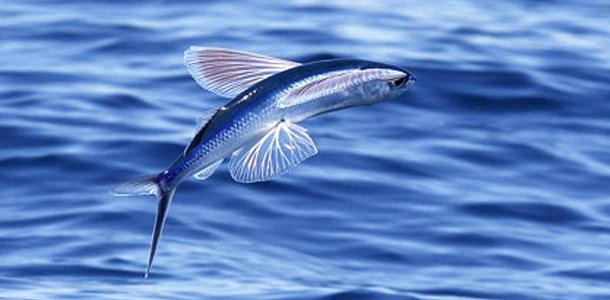 Los geht's: Es gibt Fische, die Jagd auf Vögel machen.