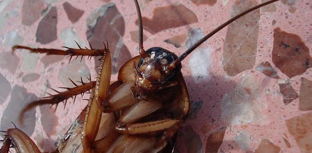 Kakerlaken können bis zu 9 Tage ohne Kopf überleben.