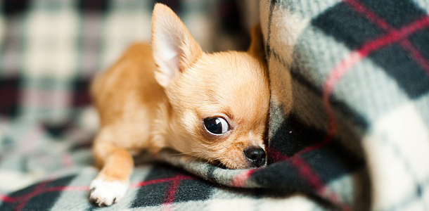 Zu welcher Hunderasse gehört dieser Welpe?