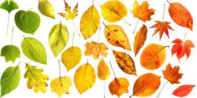 Erkennst du unsere heimischen Bäume anhand ihrer Blätter?