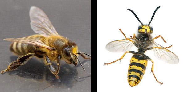 Auf welcher Seite sieht man eine Biene?
