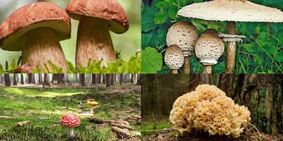 Giftig oder genießbar? Kennst du diese 10 Pilze?